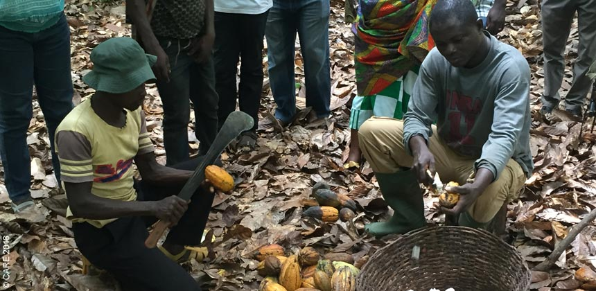 Farmers husking cocoa pods