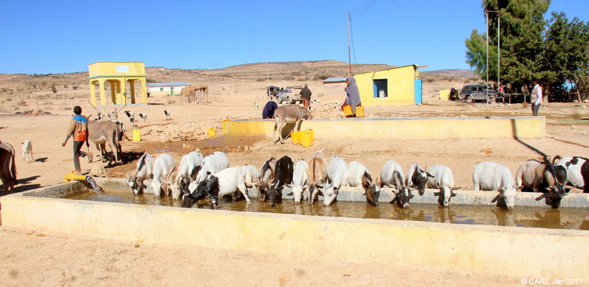 Cattle at a water trough in Somaliland