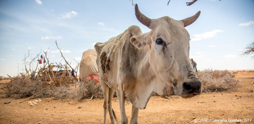 An emaciated cow in Somaliland
