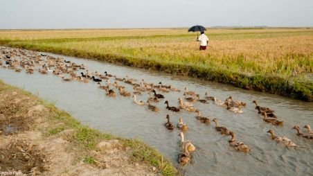 Ducks swimming along a river in Bangladesh